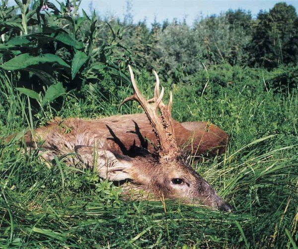Rehbock 680 gr